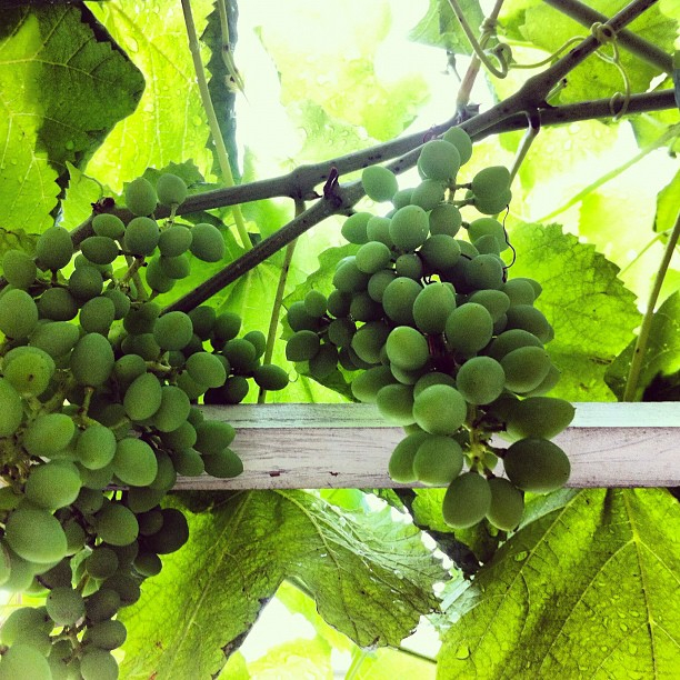 Grapes on the pergola