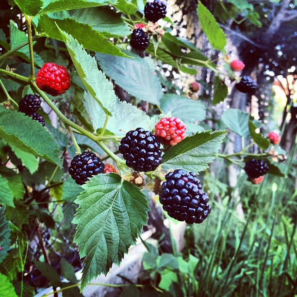 Blackberries rising