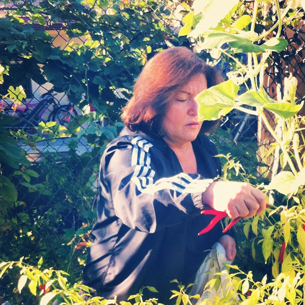 Nonna picking chilies this morning