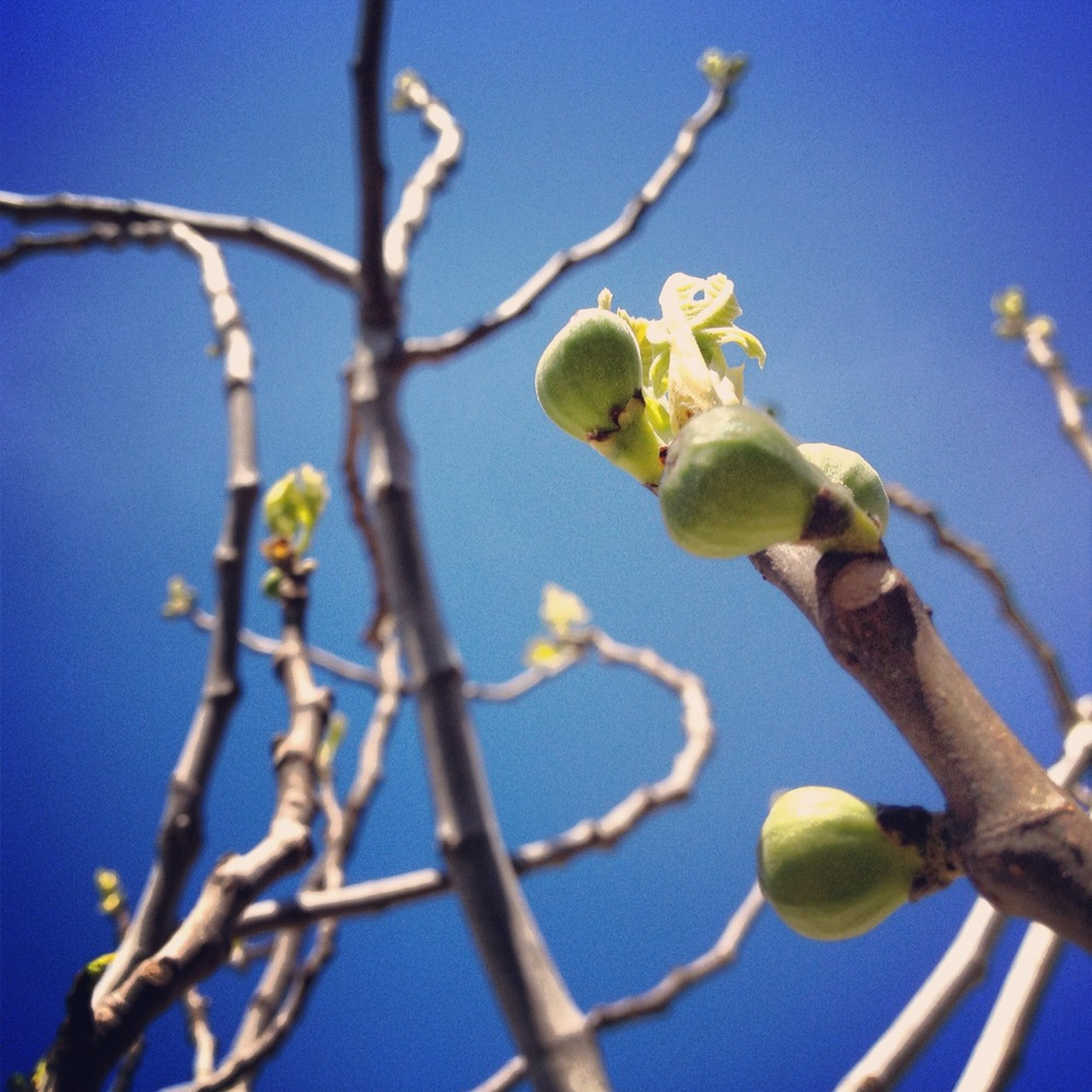 First figs busting out