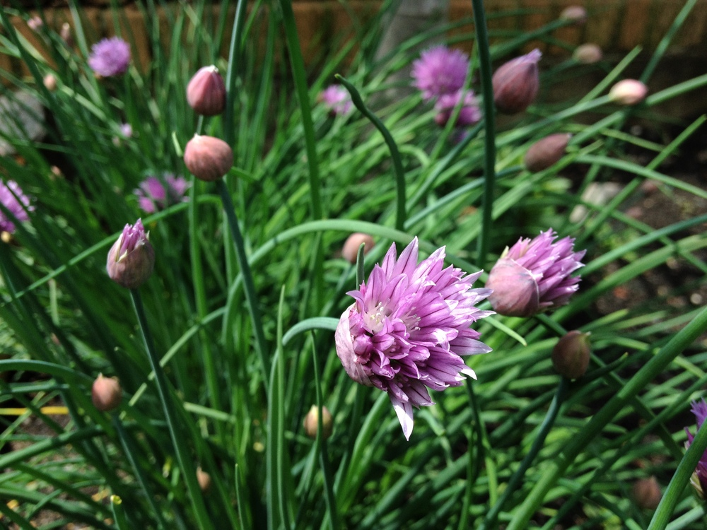 Pretty chives dangling in the sun