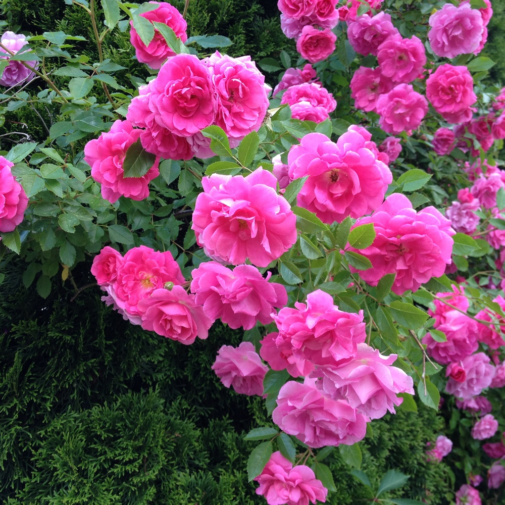 Nonna loves her roses.