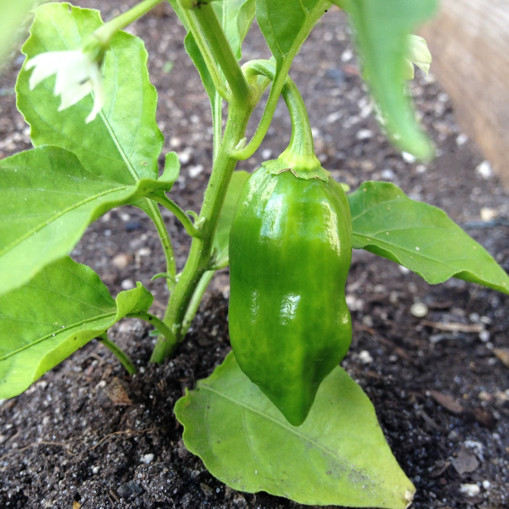 Welcome to our garden habanero!