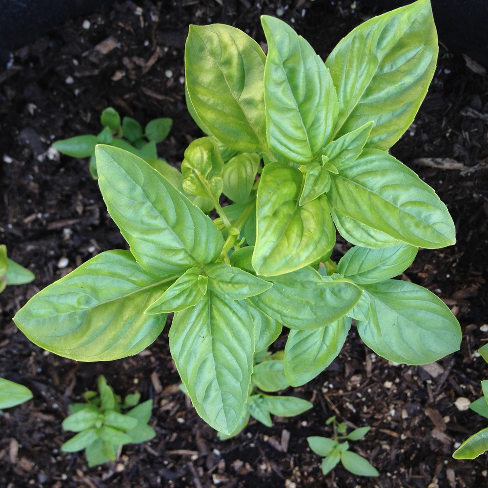 Fresh tasty basil. Can't wait to eat you up!