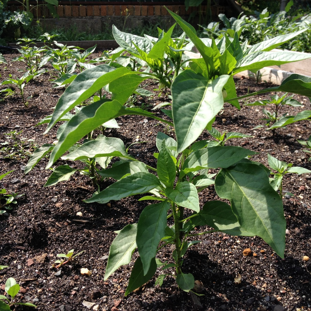 Spicy Calabrian chile plants finally growing!
