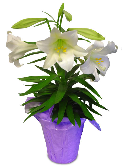 easter-lily1.jpg