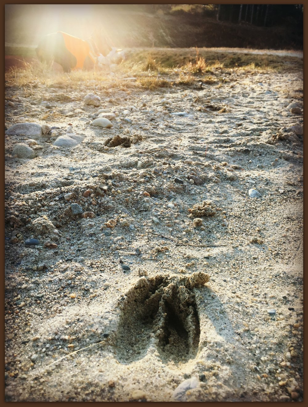 Deer prints from this morning's run, Zoë romping in the background.