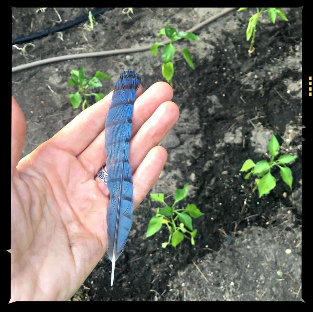 My totem-Blue Jay feather with peppers and onions peeking up at us!