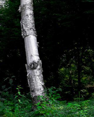 big_MM97.09Birch.jpg