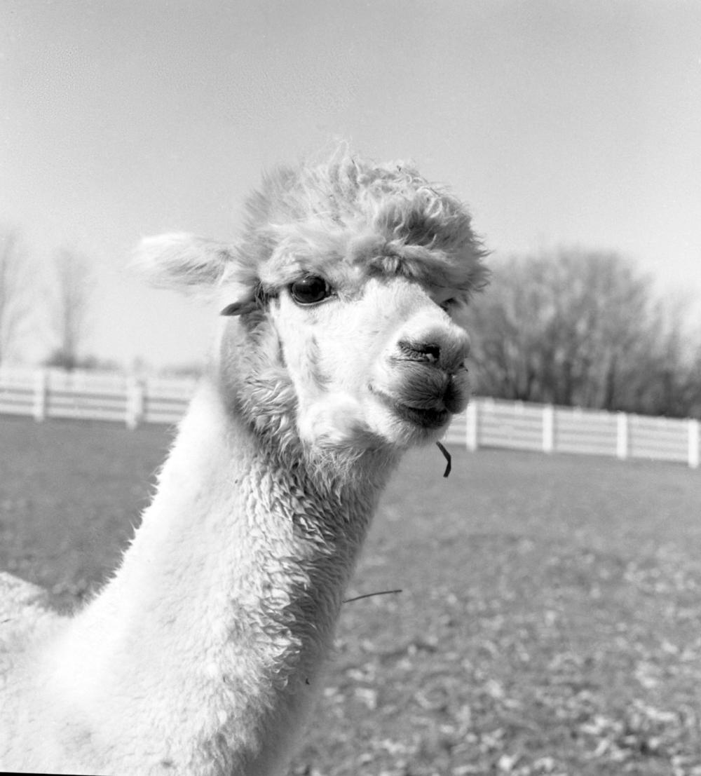 alpacas840.jpg