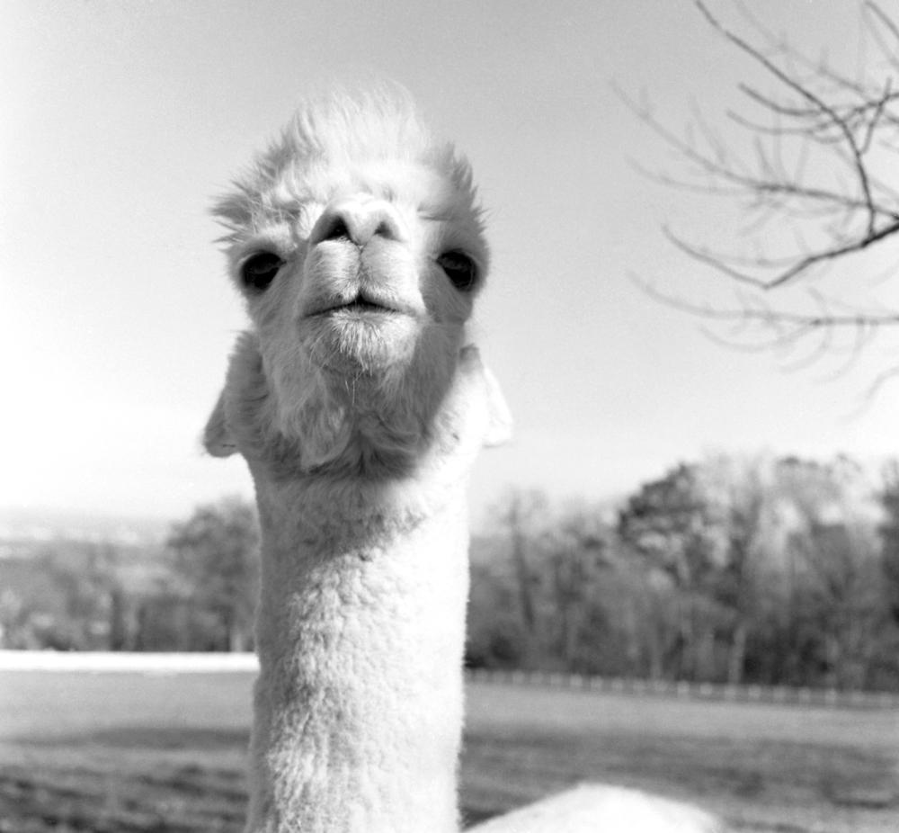alpacas843.jpg