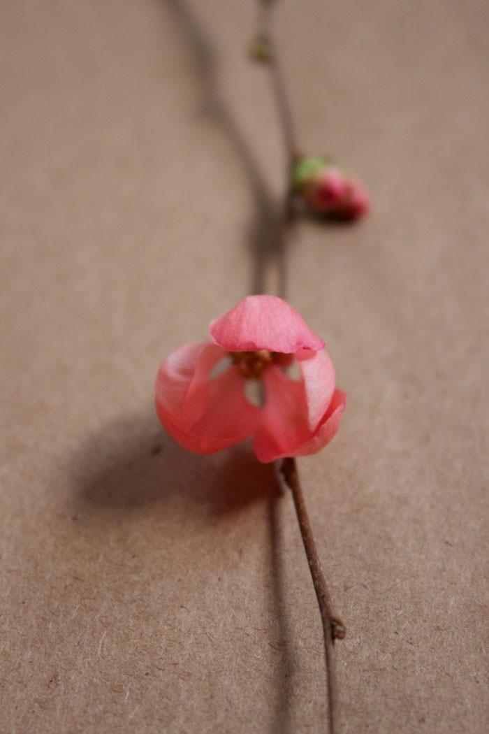 flowering-quince-macro.jpg