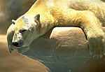 polar-bear-slumped_sm.jpg