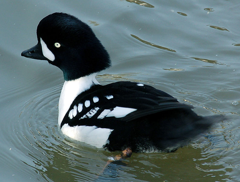 Barrow's goldeneye is a more uncommon sight on the Metolius.