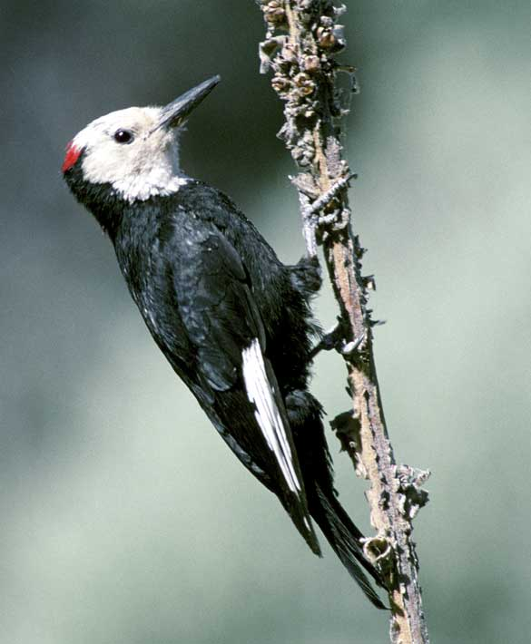 The white-headed woodpecker.