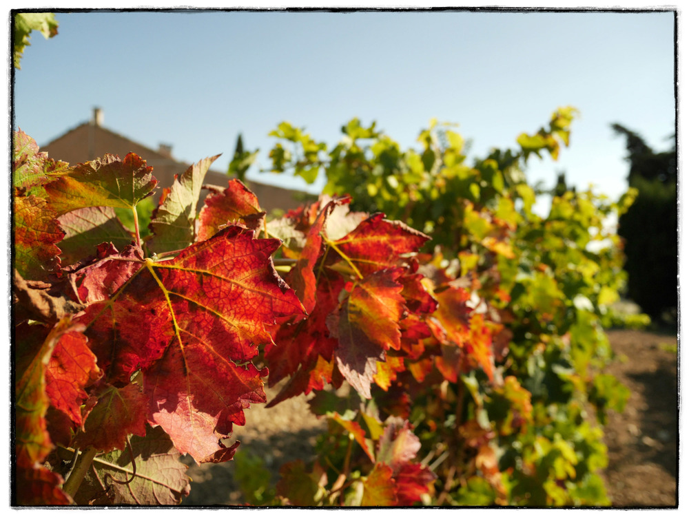Harvest time in the vines