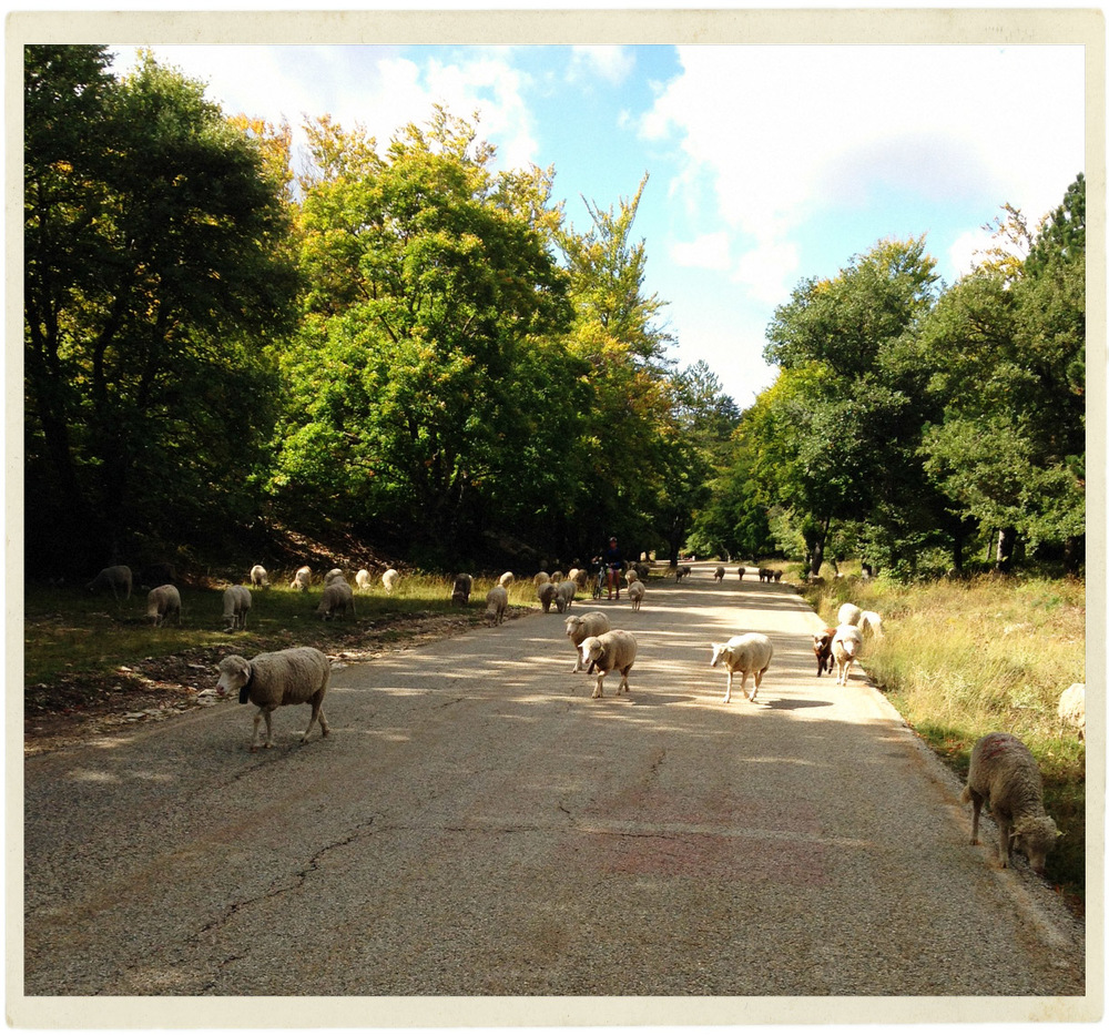 Herds of sheep scattered all the way up the road to the top of Ventoux made for an interesting ride!