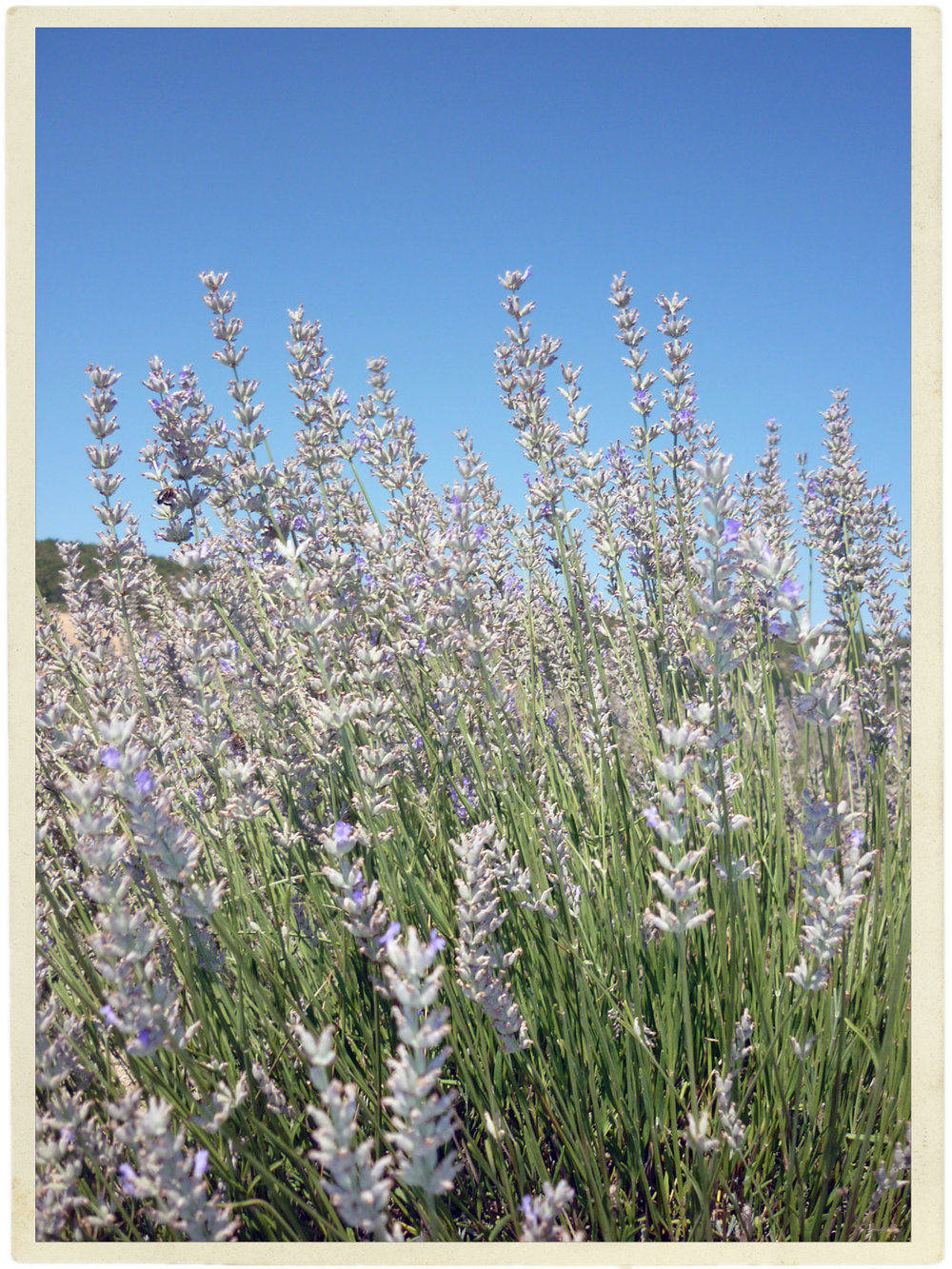 Small bits of lavender left unharvested in Sault.
