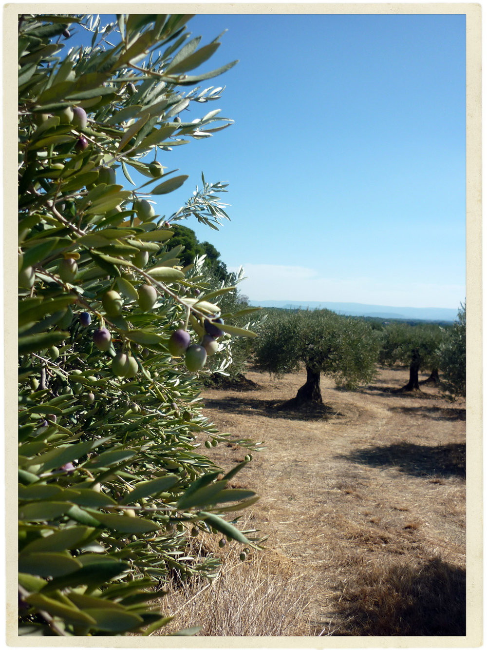 It often still looks like summer here, but these olives are slowly turning...
