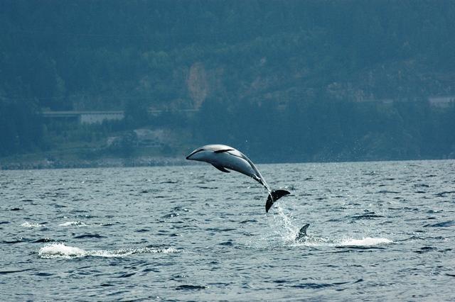 Dolphin-hoop.jpg
