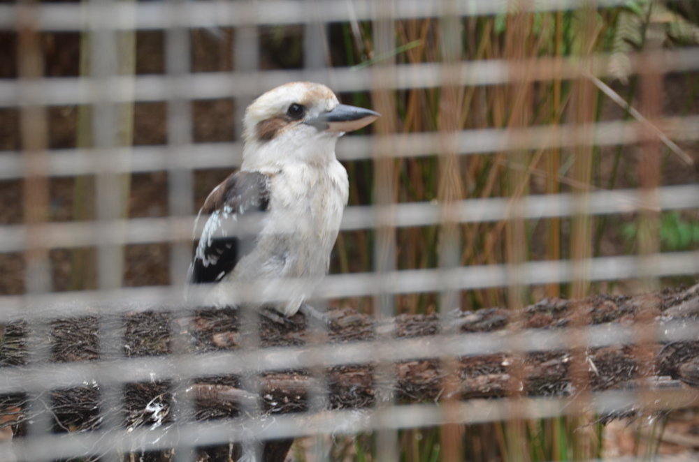 I sang   Kookaburra Sits in the Old Gum Tree   at Girl Scout camp but never knew how cute the jolly jolly king of the bush can be.
