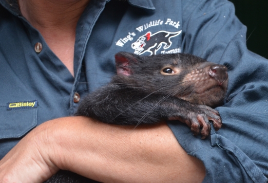 This baby Tasmanian devil was named Molly! She loves her keeper but she's vicious around food (she and I have more in common than a name).