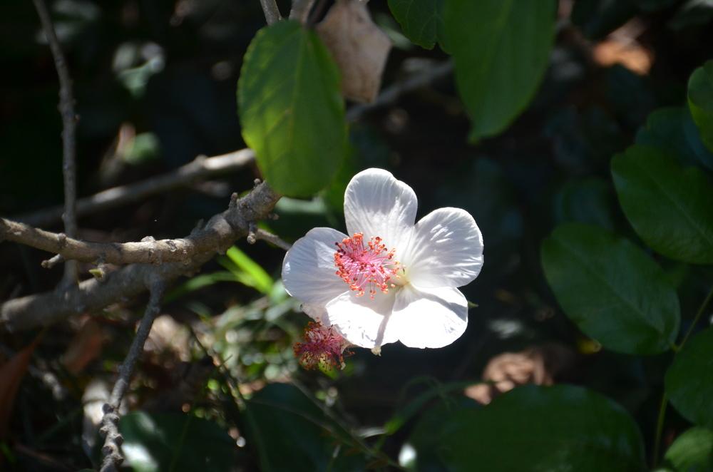 Hibiscus in Sydney, AU Botanical Garden.