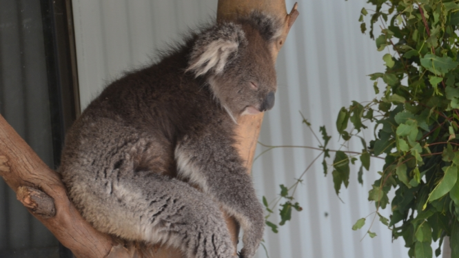 Koala's eat eucalyptus leaves that are highly toxic. They spend 4 hours each day eating and the other 20 hours sleeping off the toxins.