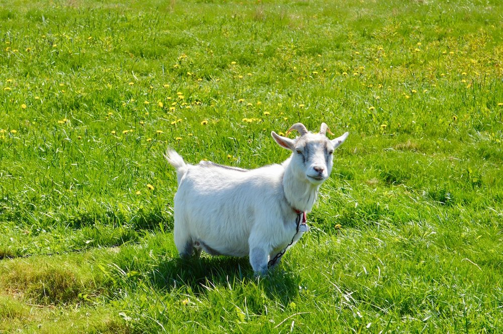 This Morry goat is enjoying spring