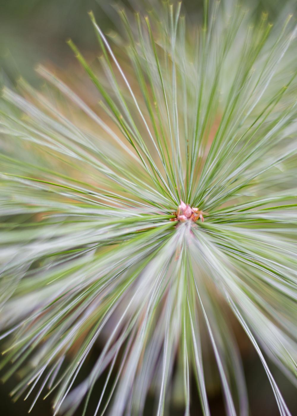 WinterHillStudio Pine Needles Sharp.jpg