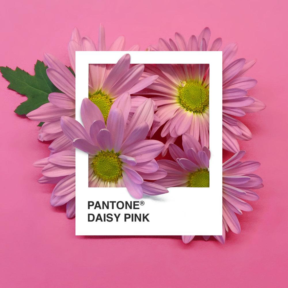 DaisyPink.jpg