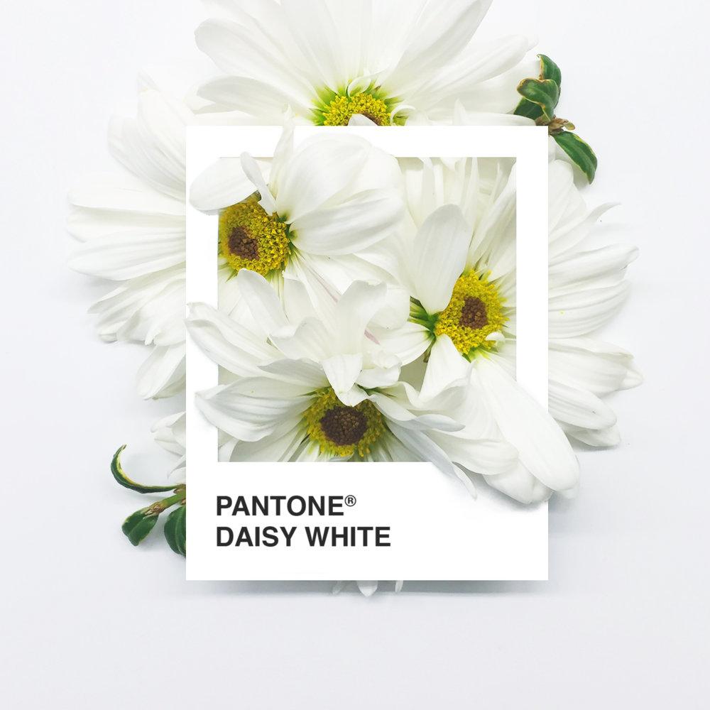 DaisyWhite.jpg