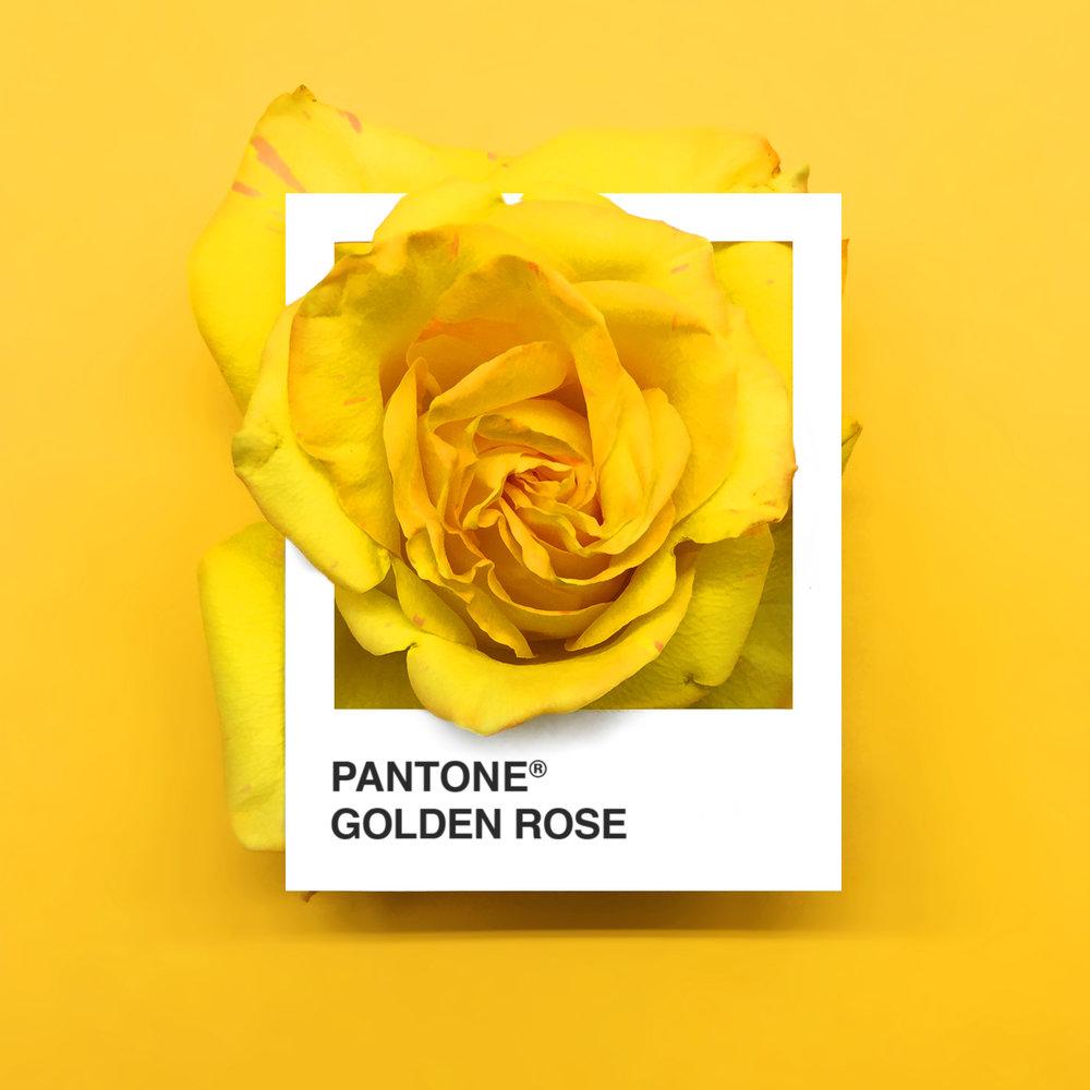 GoldenRose.jpg