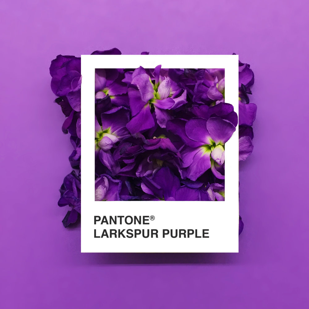LarkspurPurple.jpg