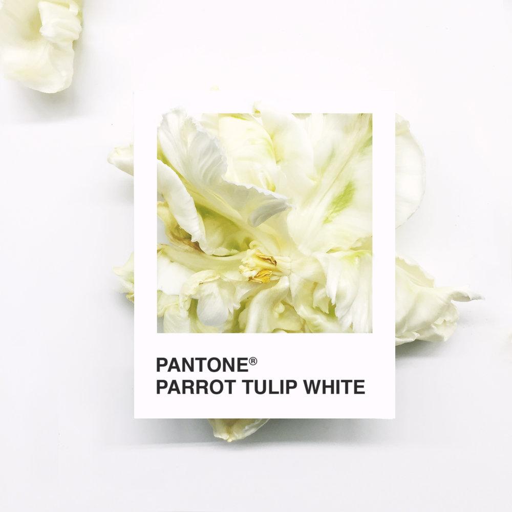 TulipWhite.jpg
