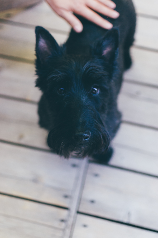 LOOK AT MY COUSIN'S SCOTTIE. SO CUTE.