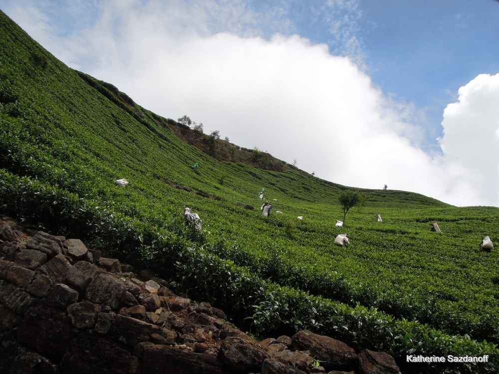 Lipton Tea Estate, Sri Lanka
