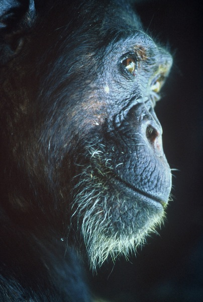 African Genesis Intelligent Thought-Chimp 1313.jpg