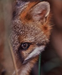 Peeking fox on display at Corkscrew ©Connie Bransilver