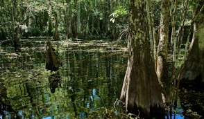 Everglades at High Water with Cypress Knees ©Connie Bransilver