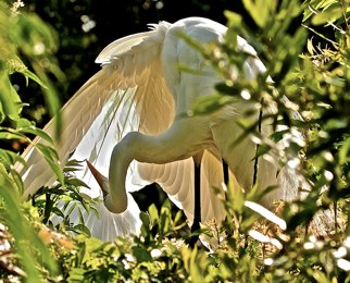 Great Egret ©Connie Bransilver