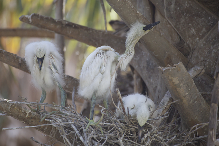 Snowy Egret Chicks Want More - Connie Bransilver