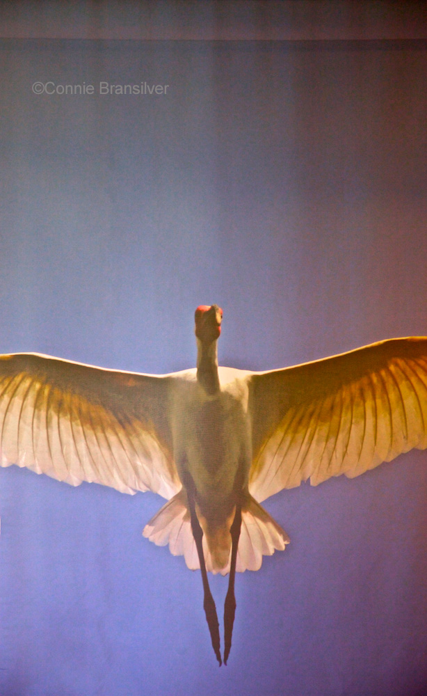 Florida Sandhill Crane  (Grus canadensis pratensis)