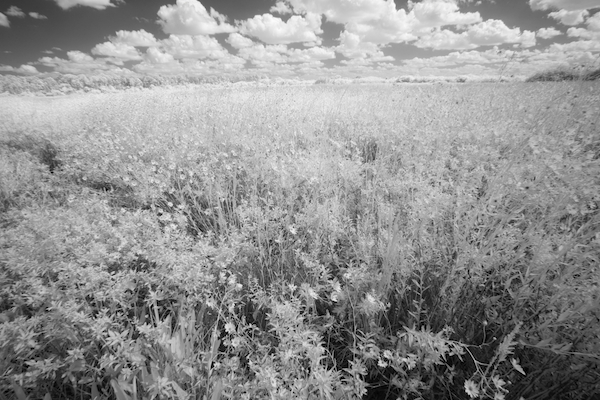 Corkscrew Swamp Sunflowers IR ©Connie Bransilver