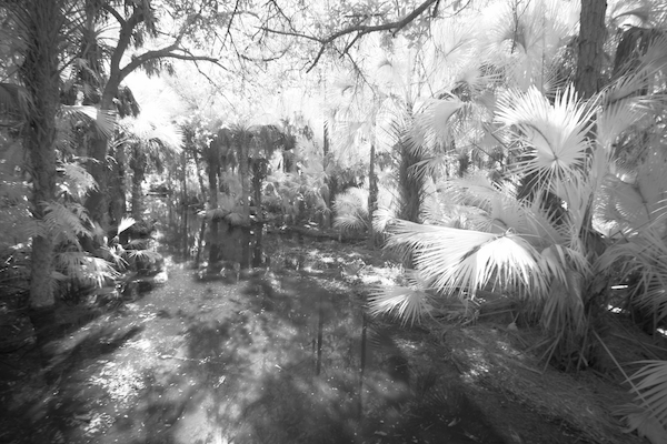 Corkscrew Swamp IR ©Connie Bransilver