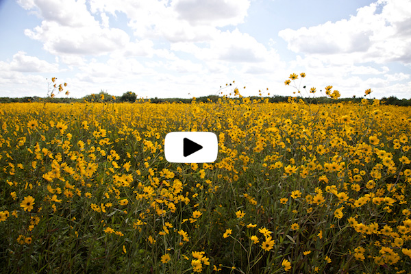 Guardians of the Everglades Video - Fall Colors and Sunflowers
