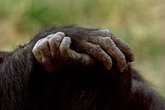 Chimpanzees in Tanzania ©Connie Bransilver