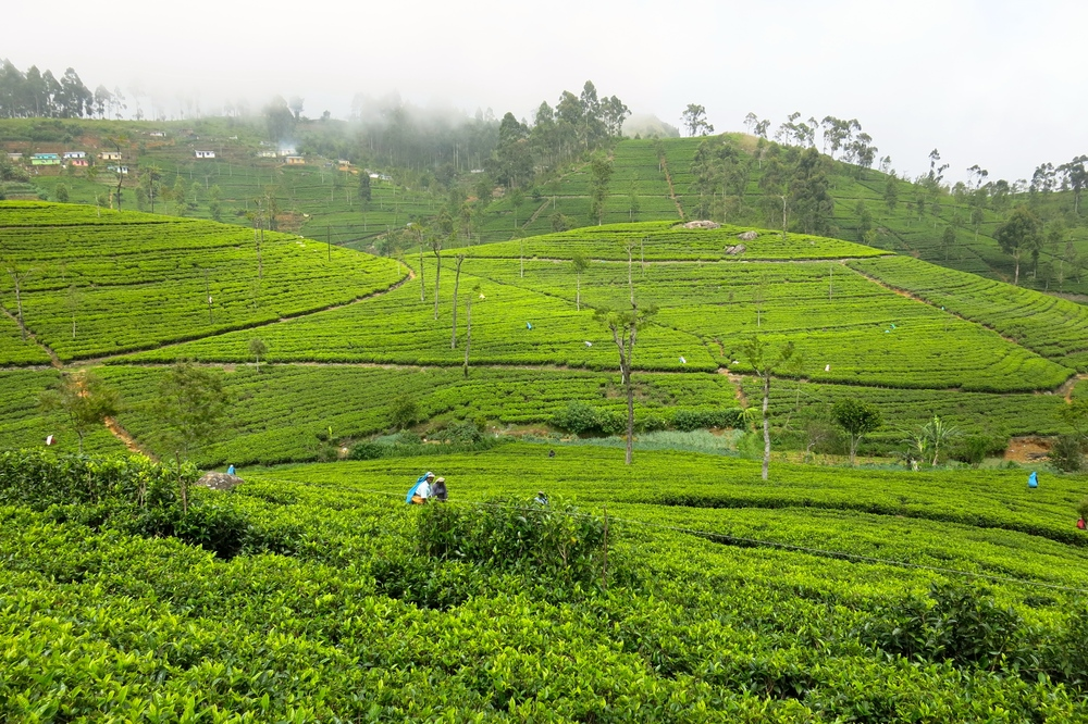 "Tea as far as the eye can see - those little colourful ""dots"" are the ladies who pick the tea leaves!"