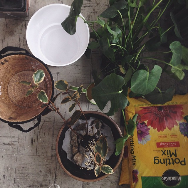 It's a jungle in here! Today's project… #houseplants #todaysproject #green #potting #spring