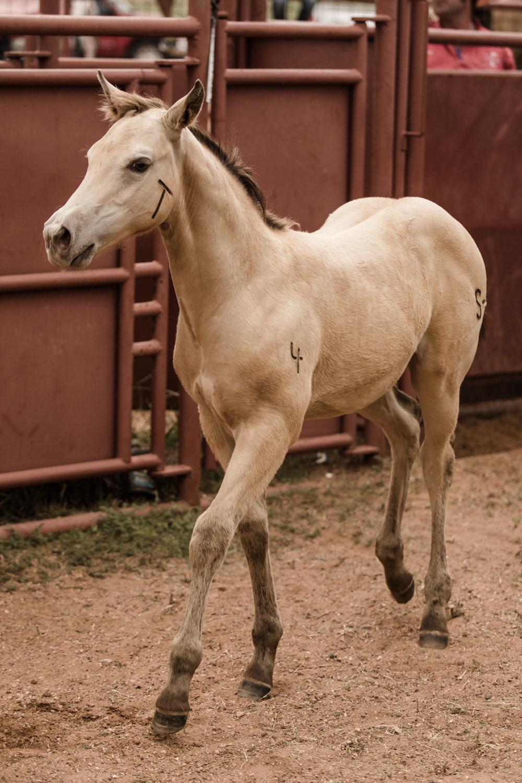 A freshly branded colt.